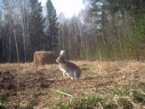 По следам лесных зверей