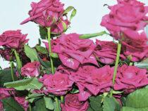 Миллионы арамашевских роз